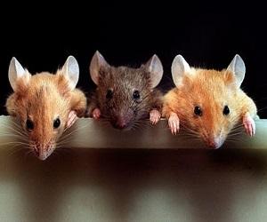 Во сне приснились мыши – к чему это?